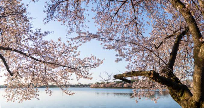 washington dc cherry blossoms april 05 2021 16 cherryblossomwatch com 678x359 - Cherry Blossom Watch Update: April 5, 2021