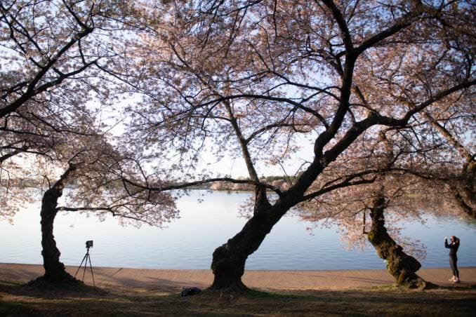 washington dc cherry blossoms april 05 2021 17 cherryblossomwatch com 678x452 - Cherry Blossom Watch Update: April 5, 2021