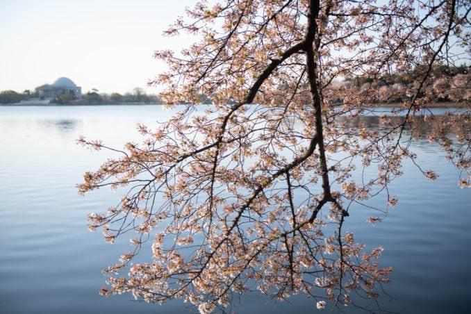 washington dc cherry blossoms april 05 2021 18 cherryblossomwatch com 678x452 - Cherry Blossom Watch Update: April 5, 2021