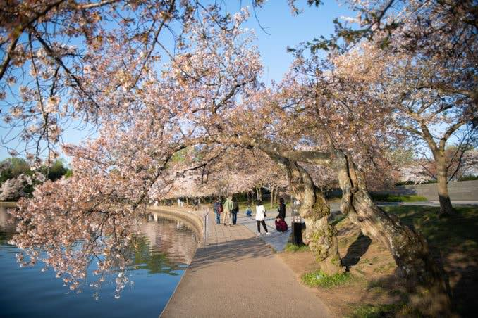 washington dc cherry blossoms april 05 2021 19 cherryblossomwatch com 678x452 - Cherry Blossom Watch Update: April 5, 2021