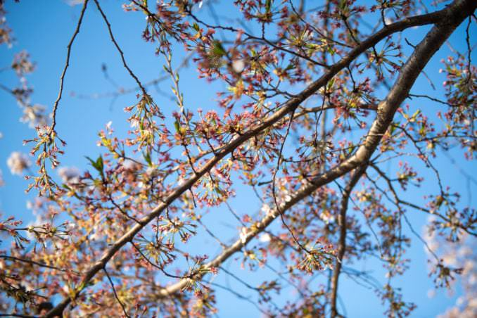 washington dc cherry blossoms april 05 2021 20 cherryblossomwatch com 678x452 - Cherry Blossom Watch Update: April 5, 2021