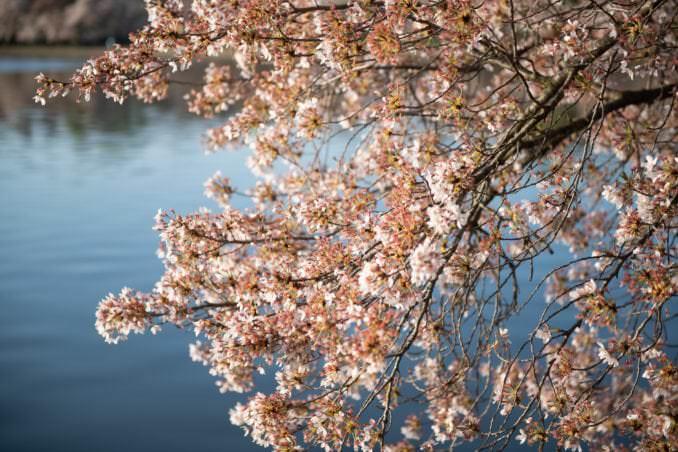 washington dc cherry blossoms april 05 2021 21 cherryblossomwatch com 678x452 - Cherry Blossom Watch Update: April 5, 2021