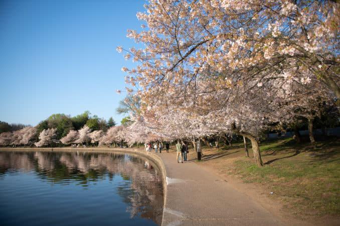 washington dc cherry blossoms april 05 2021 22 cherryblossomwatch com 678x452 - Cherry Blossom Watch Update: April 5, 2021