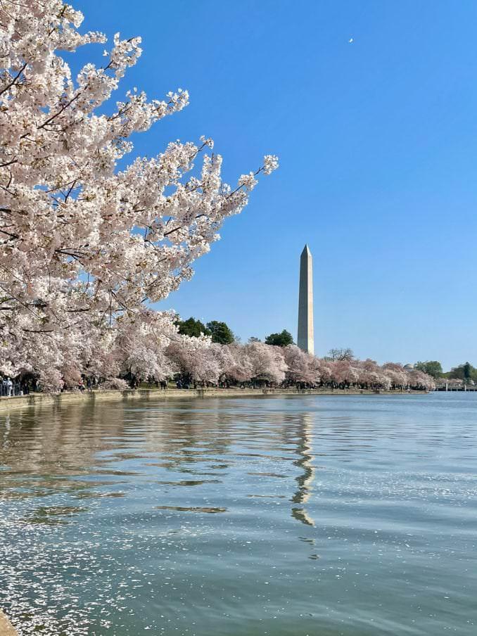 washington dc cherry blossoms april 05 2021 23 cherryblossomwatch com 1 678x904 - Reader Photos 2021   Part 2