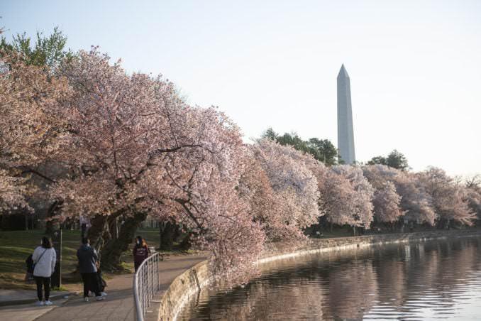 washington dc cherry blossoms april 05 2021 23 cherryblossomwatch com 678x452 - Cherry Blossom Watch Update: April 5, 2021