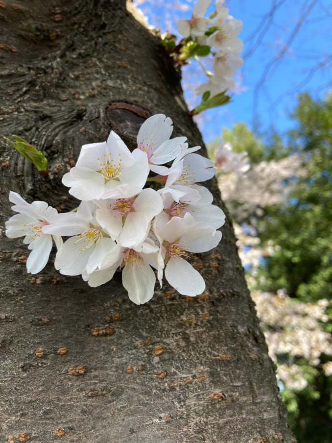 washington dc cherry blossoms april 05 2021 24 cherryblossomwatch com 1 678x904 - Reader Photos 2021   Part 2