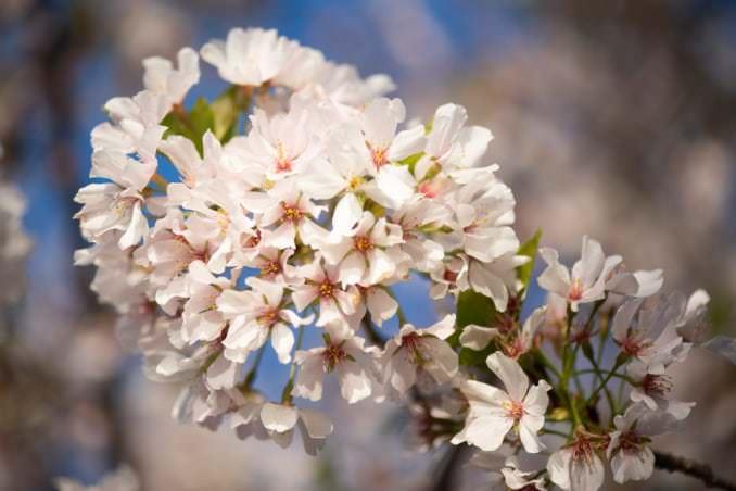 washington dc cherry blossoms april 05 2021 24 cherryblossomwatch com 678x452 - Cherry Blossom Watch Update: April 5, 2021