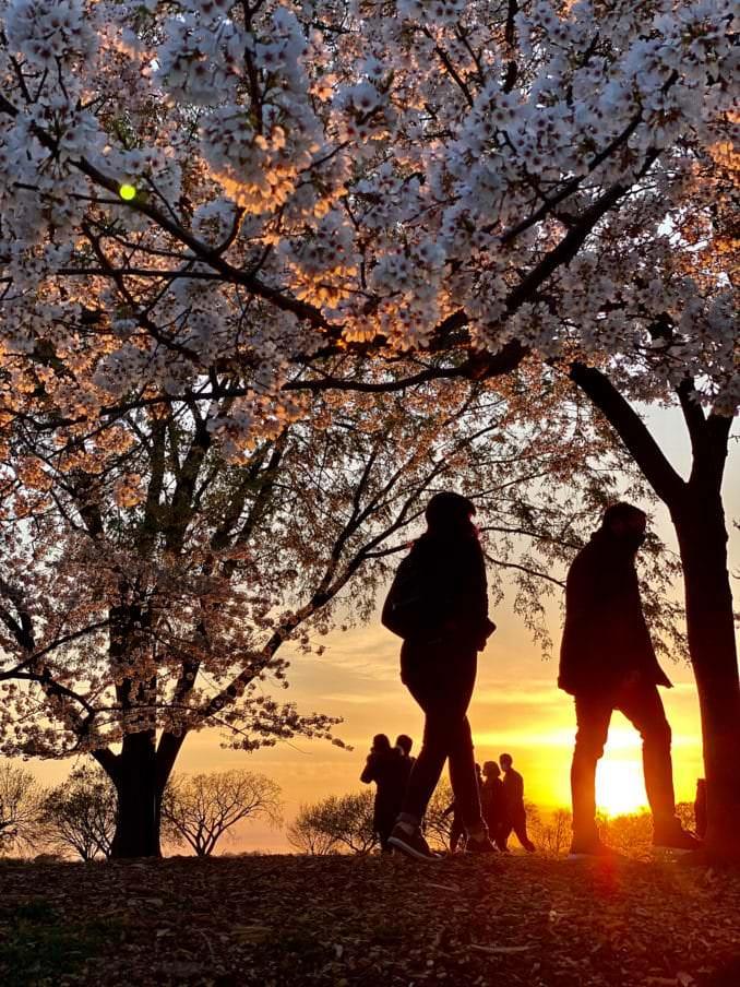 washington dc cherry blossoms april 05 2021 25 cherryblossomwatch com 1 678x904 - Reader Photos 2021   Part 2