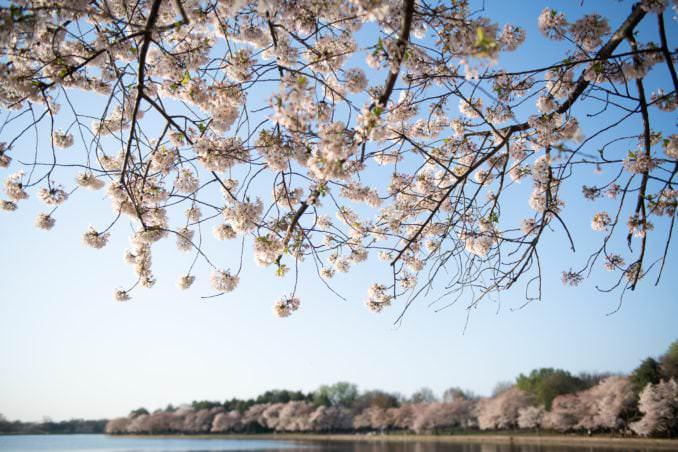 washington dc cherry blossoms april 05 2021 25 cherryblossomwatch com 678x452 - Cherry Blossom Watch Update: April 5, 2021