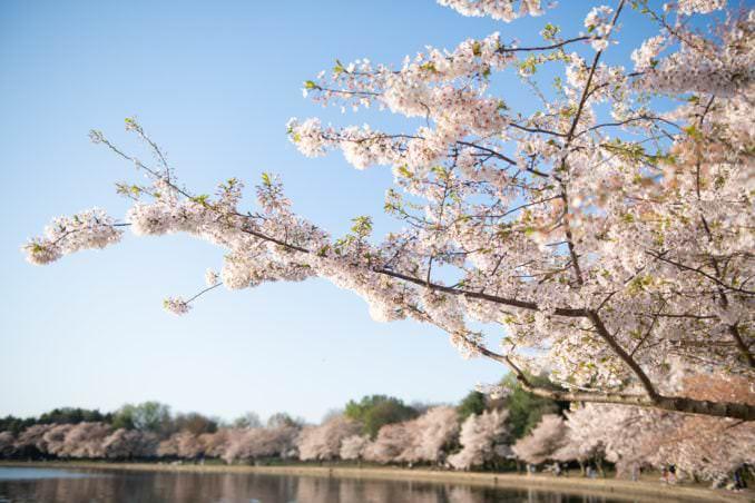 washington dc cherry blossoms april 05 2021 26 cherryblossomwatch com 678x452 - Cherry Blossom Watch Update: April 5, 2021