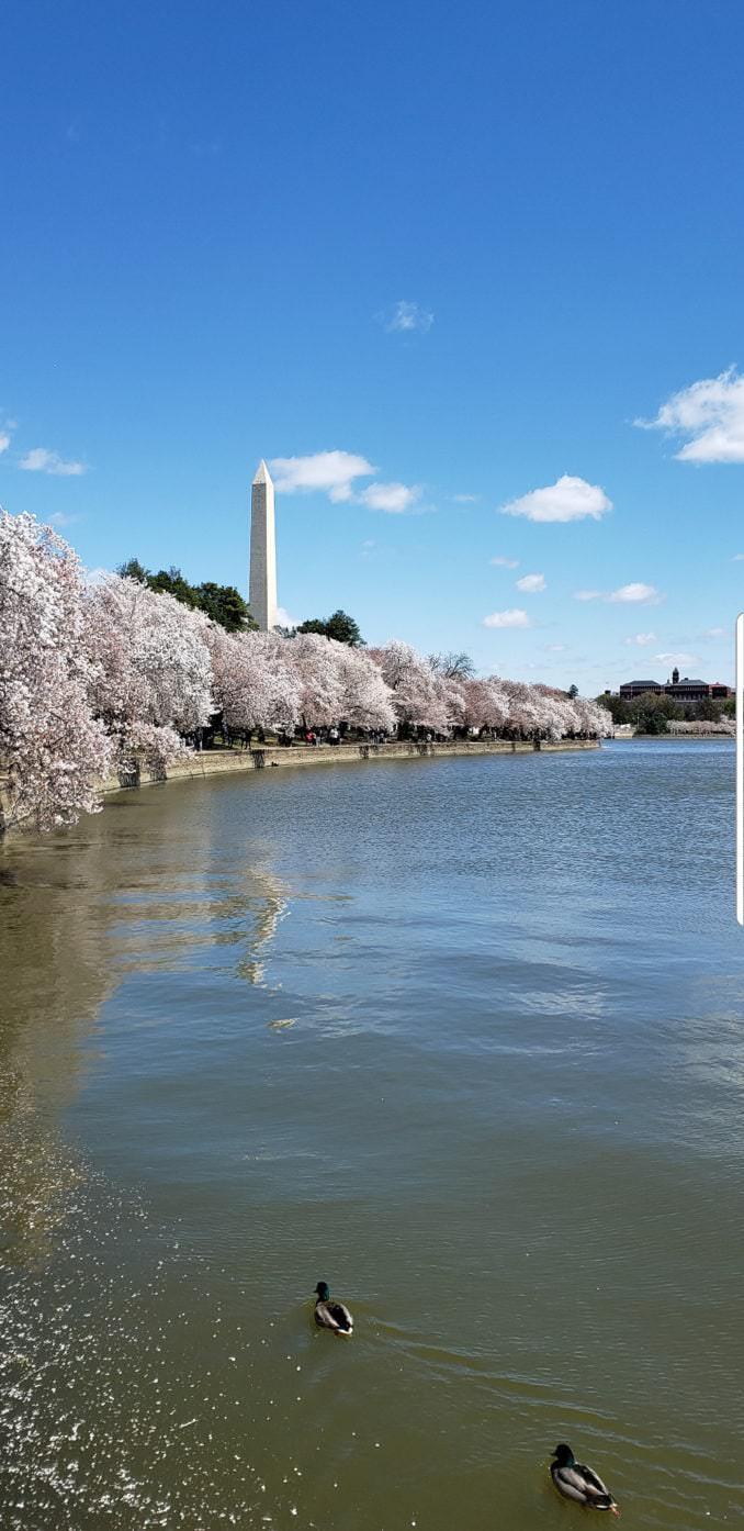 washington dc cherry blossoms april 05 2021 27 cherryblossomwatch com 1 678x1394 - Reader Photos 2021   Part 2