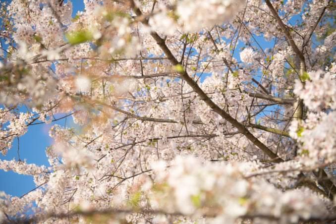 washington dc cherry blossoms april 05 2021 27 cherryblossomwatch com 678x452 - Cherry Blossom Watch Update: April 5, 2021