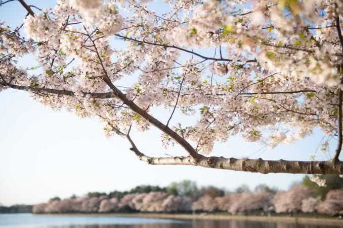 washington dc cherry blossoms april 05 2021 28 cherryblossomwatch com 678x452 - Cherry Blossom Watch Update: April 5, 2021