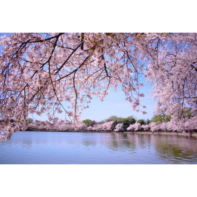 washington dc cherry blossoms april 05 2021 29 cherryblossomwatch com 1 678x678 - Reader Photos 2021   Part 2