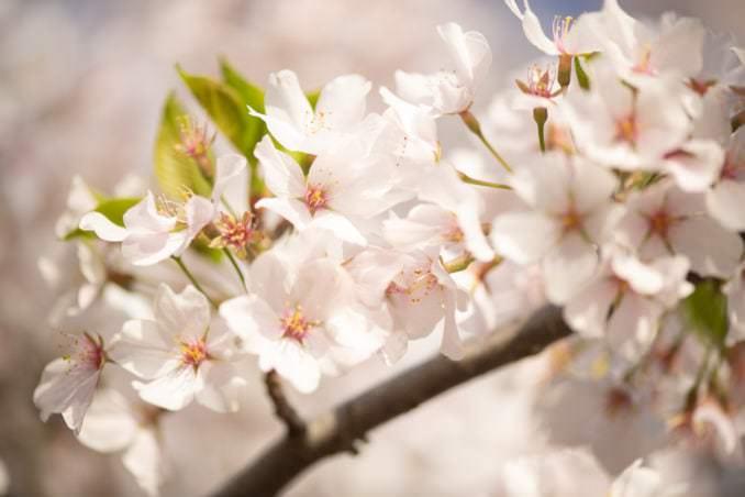 washington dc cherry blossoms april 05 2021 29 cherryblossomwatch com 678x452 - Cherry Blossom Watch Update: April 5, 2021