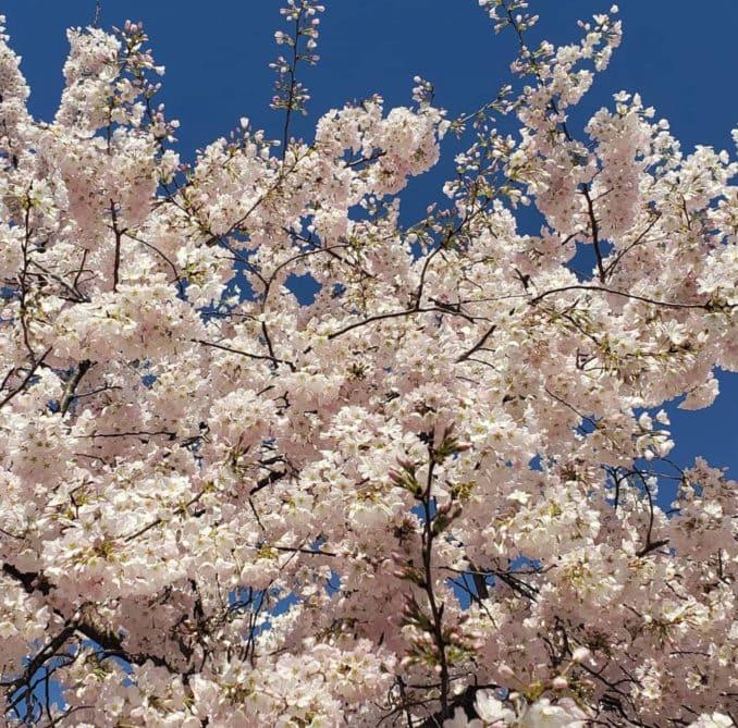 washington dc cherry blossoms april 05 2021 30 cherryblossomwatch com 1 678x669 - Reader Photos 2021   Part 2