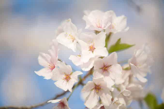 washington dc cherry blossoms april 05 2021 30 cherryblossomwatch com 678x452 - Cherry Blossom Watch Update: April 5, 2021