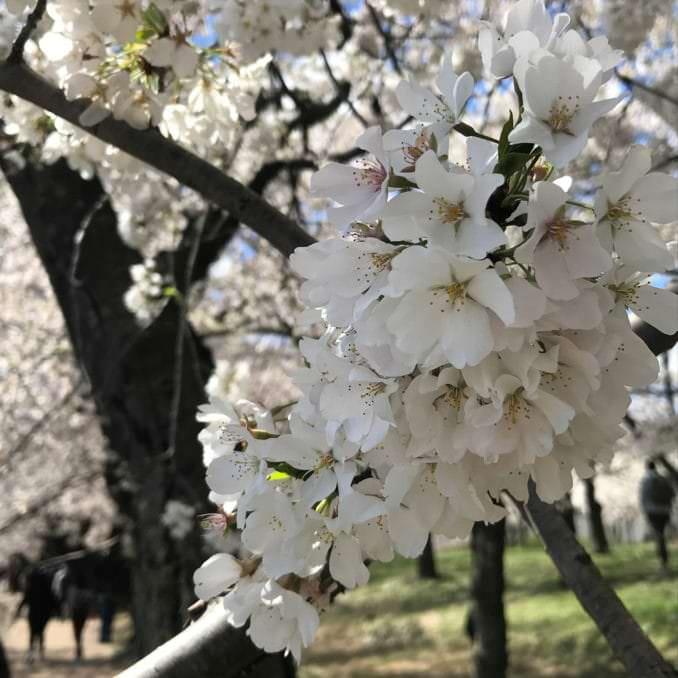 washington dc cherry blossoms april 05 2021 31 cherryblossomwatch com 1 678x678 - Reader Photos 2021   Part 2