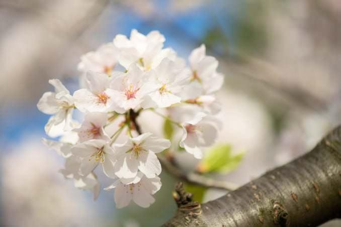 washington dc cherry blossoms april 05 2021 31 cherryblossomwatch com 678x452 - Cherry Blossom Watch Update: April 5, 2021