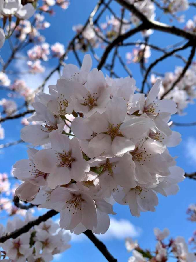 washington dc cherry blossoms april 05 2021 32 cherryblossomwatch com 1 678x904 - Reader Photos 2021   Part 2