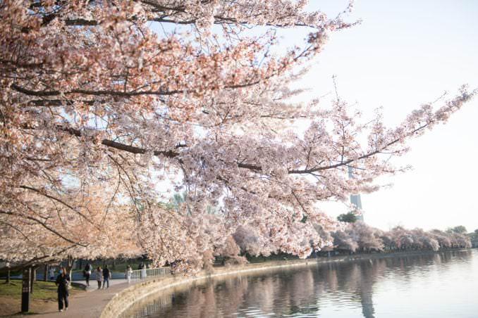 washington dc cherry blossoms april 05 2021 32 cherryblossomwatch com 678x452 - Cherry Blossom Watch Update: April 5, 2021
