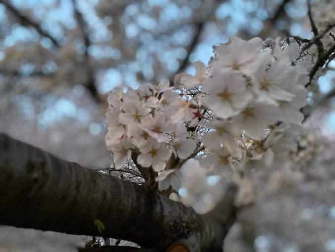 washington dc cherry blossoms april 05 2021 33 cherryblossomwatch com 1 678x509 - Reader Photos 2021   Part 2