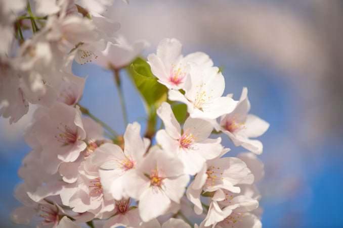 washington dc cherry blossoms april 05 2021 33 cherryblossomwatch com 678x452 - Cherry Blossom Watch Update: April 5, 2021