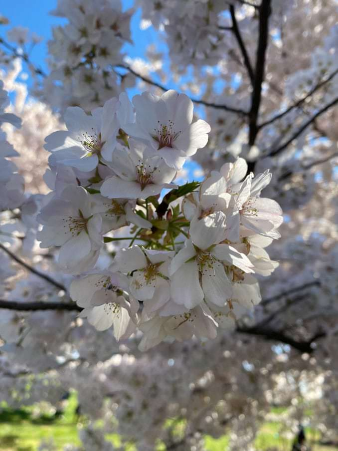 washington dc cherry blossoms april 05 2021 34 cherryblossomwatch com 1 678x904 - Reader Photos 2021   Part 2