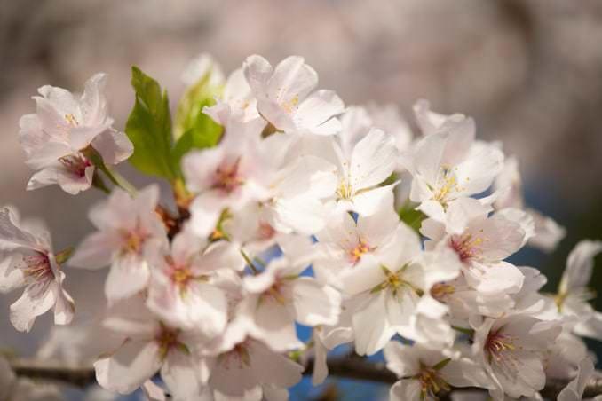 washington dc cherry blossoms april 05 2021 34 cherryblossomwatch com 678x452 - Cherry Blossom Watch Update: April 5, 2021