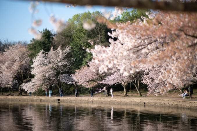 washington dc cherry blossoms april 05 2021 35 cherryblossomwatch com 678x452 - Cherry Blossom Watch Update: April 5, 2021