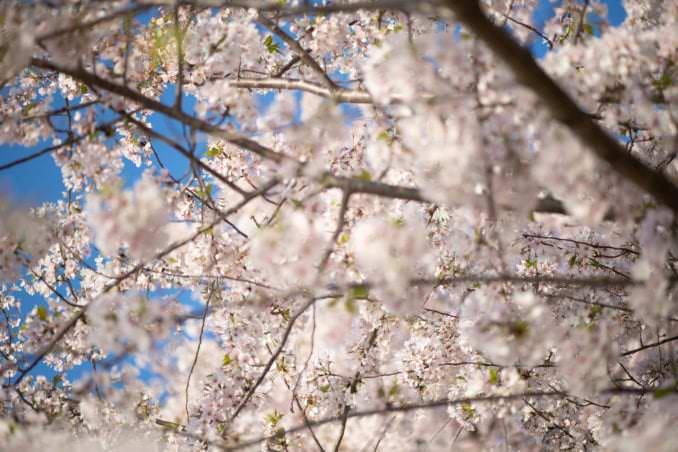 washington dc cherry blossoms april 05 2021 36 cherryblossomwatch com 678x452 - Cherry Blossom Watch Update: April 5, 2021