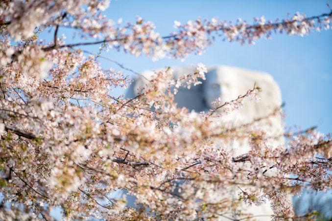 washington dc cherry blossoms april 05 2021 37 cherryblossomwatch com 678x452 - Cherry Blossom Watch Update: April 5, 2021