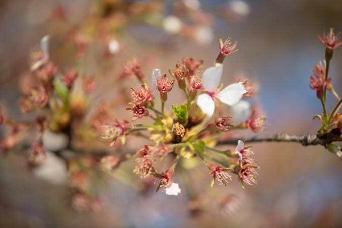 washington dc cherry blossoms april 05 2021 38 cherryblossomwatch com 678x452 - Cherry Blossom Watch Update: April 5, 2021