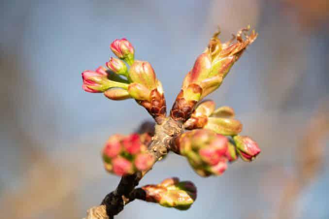 washington dc cherry blossoms april 05 2021 39 cherryblossomwatch com 678x452 - Cherry Blossom Watch Update: April 5, 2021