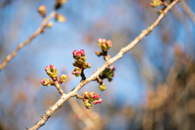 washington dc cherry blossoms april 05 2021 40 cherryblossomwatch com 678x452 - Cherry Blossom Watch Update: April 5, 2021
