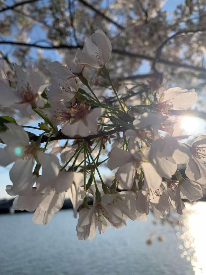 washington dc cherry blossoms april 06 2021 36 cherryblossomwatch com 678x904 - Reader Photos 2021   Part 2