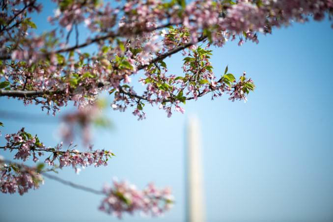 washington dc cherry blossoms april 07 2021 03 cherryblossomwatch com 678x452 - Cherry Blossom Watch Update: April 7, 2021