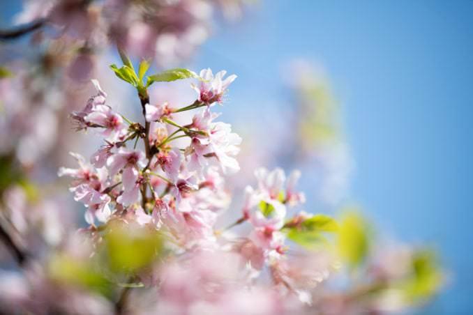 washington dc cherry blossoms april 07 2021 05 cherryblossomwatch com 678x452 - Cherry Blossom Watch Update: April 7, 2021