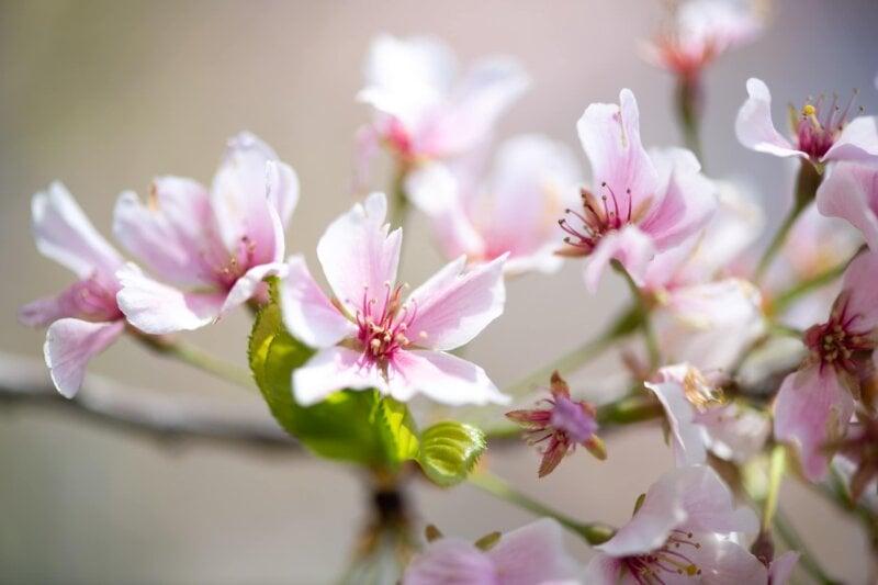 washington dc cherry blossoms april 07 2021 06 cherryblossomwatch com 800x533 - Cherry Blossom Watch Update: April 7, 2021