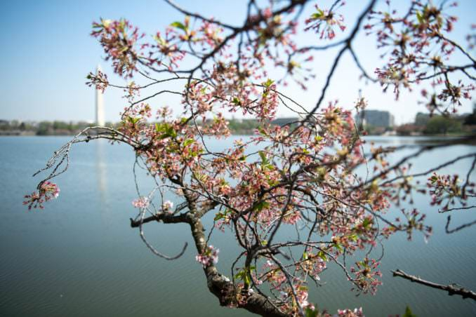 washington dc cherry blossoms april 07 2021 08 cherryblossomwatch com 678x452 - Cherry Blossom Watch Update: April 7, 2021
