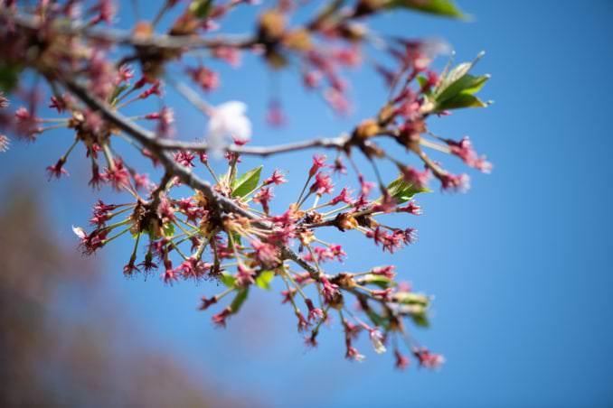 washington dc cherry blossoms april 07 2021 09 cherryblossomwatch com 678x452 - Cherry Blossom Watch Update: April 7, 2021