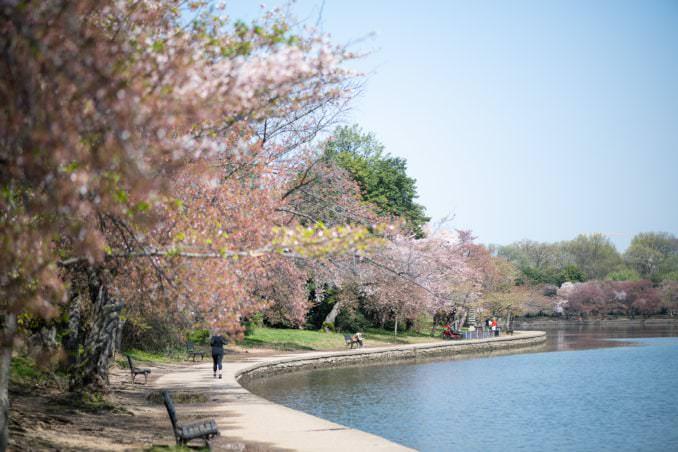 washington dc cherry blossoms april 07 2021 10 cherryblossomwatch com 678x452 - Cherry Blossom Watch Update: April 7, 2021