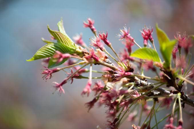 washington dc cherry blossoms april 07 2021 12 cherryblossomwatch com 678x452 - Cherry Blossom Watch Update: April 7, 2021