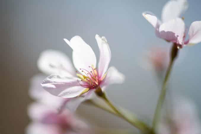 washington dc cherry blossoms april 07 2021 14 cherryblossomwatch com 678x452 - Cherry Blossom Watch Update: April 7, 2021