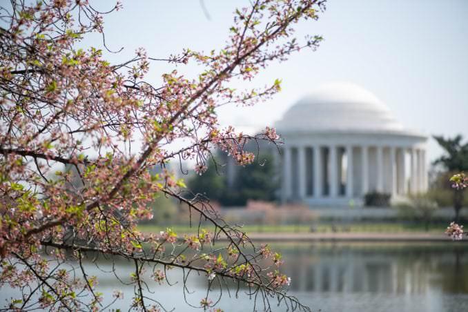 washington dc cherry blossoms april 07 2021 15 cherryblossomwatch com 678x452 - Cherry Blossom Watch Update: April 7, 2021