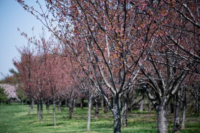 washington dc cherry blossoms april 07 2021 23 cherryblossomwatch com 678x452 - Cherry Blossom Watch Update: April 7, 2021