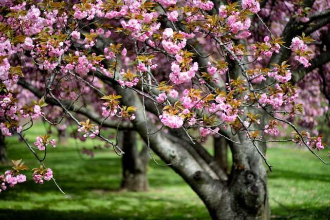 washington dc cherry blossoms april 12 2021 01 cherryblossomwatch com 678x452 - Cherry Blossom Watch Update / Kwanzan Edition: April 12, 2021
