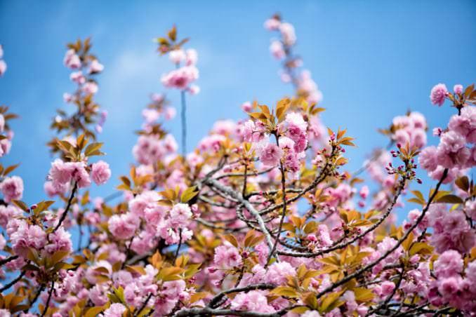 washington dc cherry blossoms april 12 2021 02 cherryblossomwatch com 678x452 - About the Kwanzan Cherry Blossoms