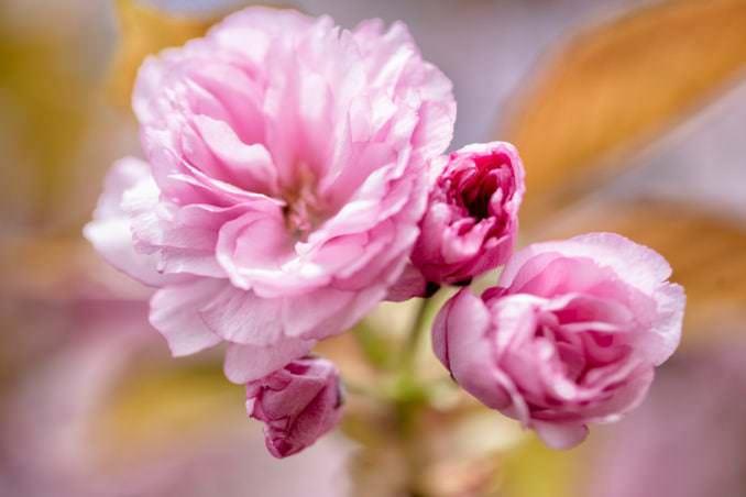 washington dc cherry blossoms april 12 2021 03 cherryblossomwatch com 678x452 - About the Kwanzan Cherry Blossoms