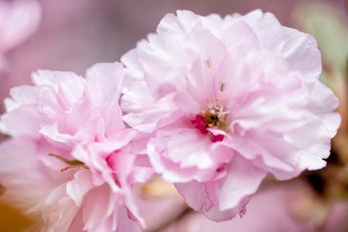 washington dc cherry blossoms april 12 2021 04 cherryblossomwatch com 678x452 - Cherry Blossom Watch Update / Kwanzan Edition: April 12, 2021